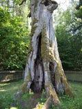 Trainiškio ąžuolas (oak tree) (Aukštaitija National Park, Lithuania) Stock Photos