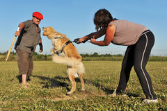 Training of attack dog Royalty Free Stock Photos
