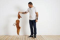 Training basenji dog at home royalty free stock photography