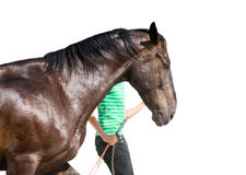 Training of the bay horse. Training of bay horse on the white background Stock Image