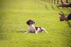Training Beagle dog puppy stock image