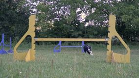 Training a border collie to jump over barriers, woman handler. Slow motion shooting. Training dog a border collie to jump over colorfull barriers, woman handler stock video footage