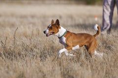 Training Coursing. Basenji dog track runs across the field. Light and sunset Stock Image