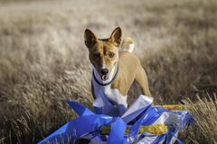 Training Coursing. Basenji dog track runs across the field. Light and sunset Stock Photo