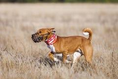 Training Coursing. Basenji dog track runs across the field. Light and sunset Royalty Free Stock Photo