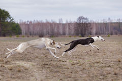 Training for coursing. Greyhound Race and Russian Hort Royalty Free Stock Photo