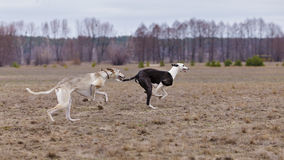 Training for coursing. Greyhound Race and Russian Hort Stock Photography
