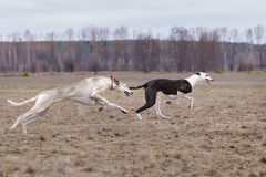 Training for coursing. Greyhound Race and Russian Hort Stock Image