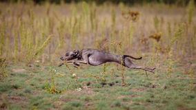 Training Coursing. Italian greyhound dog Royalty Free Stock Images