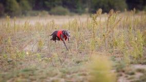 Training Coursing. Italian greyhound dog Royalty Free Stock Photo