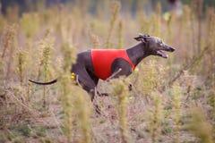 Training Coursing. Italian greyhound dog Stock Image