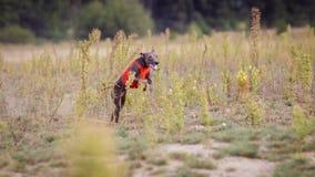 Training Coursing. Italian greyhound dog Royalty Free Stock Photos