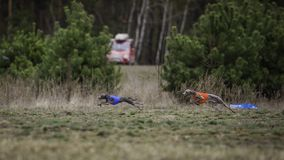 Training Coursing. Italian greyhound dog. Pursues a bait box. Summer sunny morning Stock Photos