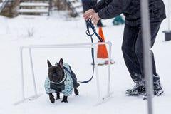 Training der französischen Bulldogge auf der Straße im Winter stockbild
