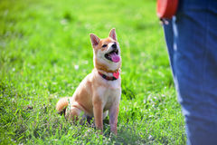 Training with dog. Shiba Inu pay attention to his owner at dogschool.r Stock Photo