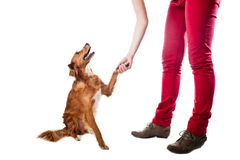 Training the dog to give five Royalty Free Stock Image