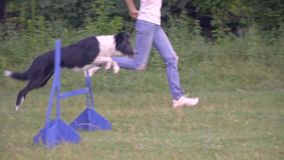 Training a dog to jump over barriers with the help of a woman handler, training sunny day. Slow motion shooting stock video
