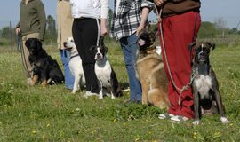 Training with dogs. Training in a club of canine obedience with purebred dogs Stock Photo
