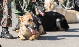 Training dogs of war Stock Images