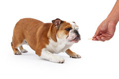 Training an English Bulldog Royalty Free Stock Image