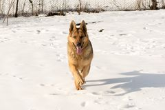 Dog german shepherd runs through the snow. Run. stock image