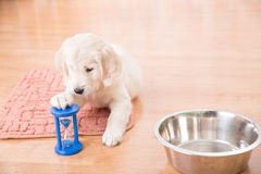 Training of golden retriever puppy Royalty Free Stock Photo
