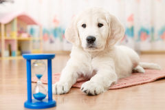 Training of golden retriever puppy Royalty Free Stock Images
