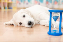 Training of golden retriever puppy Royalty Free Stock Photography