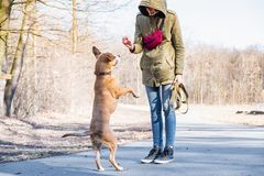 Training a grown-up dog to walk on two legs. Person schooling a staffordshire terrier in a park royalty free stock photo