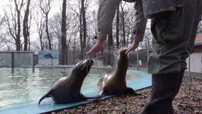 Training of harbour seals (Phoca vitulina). Training of a harbour seals (Phoca vitulina): rolling stock video footage