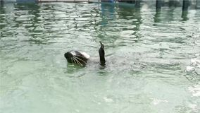 Training of harbour seals (Phoca vitulina) stock video footage