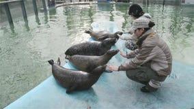 Training of harbour seals (Phoca vitulina) stock video