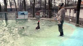 Training of harbour seals (Phoca vitulina). SZEGED, HUNGARY - DECEMBER 15. 2014. - Training of harbour seals (Phoca vitulina) in Szeged Zoo stock video