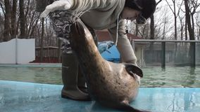 Training of harbour seals (Phoca vitulina). SZEGED, HUNGARY - DECEMBER 15. 2014. - Training of harbour seals (Phoca vitulina) in Szeged Zoo: full examination of stock footage