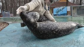 Training of harbour seals (Phoca vitulina). SZEGED, HUNGARY - DECEMBER 15. 2014. - Training of harbour seals (Phoca vitulina) in Szeged Zoo: full examination of stock video