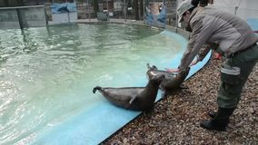 Training of harbour seals (Phoca vitulina). SZEGED, HUNGARY - DECEMBER 15. 2014. - Training of harbour seals (Phoca vitulina) in Szeged Zoo: rolling stock video footage