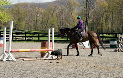 Training horse in arena with dog Stock Photography