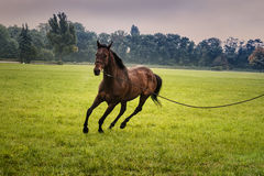 Training a horse on the lunge. Horizontal Stock Photo