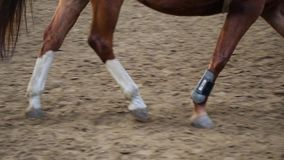 Training of horseback riding indoor. Focus on horse`s legs stock video