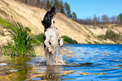 Training a hunting dog on the water Stock Image