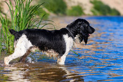 Training a hunting dog on the water Stock Photography