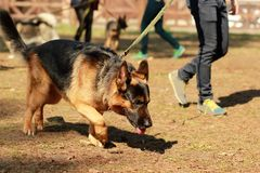 Training for a K9 german shepherd detective dog. Scent training and searching for a track. Training class for a K9 german shepherd detective dog. Scent training stock image