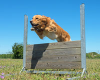 Training of obedience. Jumping dog in a training of obedience Royalty Free Stock Image