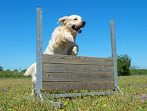 Training of obedience. Jumping dog in a training of obedience Stock Photos
