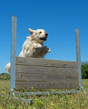 Training of obedience Stock Photography