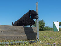 Training of obedience. Jumping dog in a training of obedience Royalty Free Stock Images
