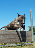 Training of obedience. Jumping dog in a training of obedience Stock Photo