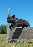 Training of obedience. Jumping dog in a training of obedience Stock Image
