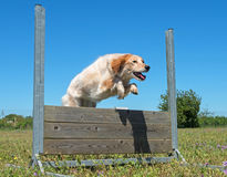 Training of obedience. Jumping dog in a training of obedience Royalty Free Stock Photography