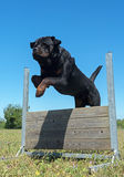 Training of obedience. Jumping dog in a training of obedience Stock Photography